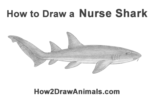 How to Draw a Nurse Shark