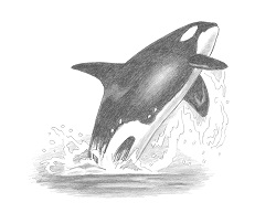 How to Draw a Killer Whale Breaching