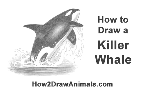 How to Draw a Killer Whale Orca Breaching Jumping