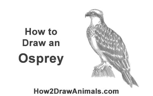 How to Draw Osprey Seahawk Bird Side