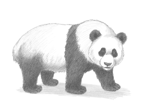 How to Draw a Giant Panda Bear Side View