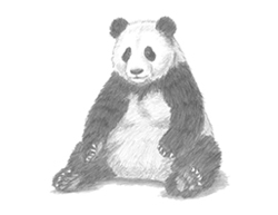 How to Draw a Giant Panda Bear Sitting