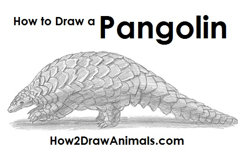 Draw Pangolin