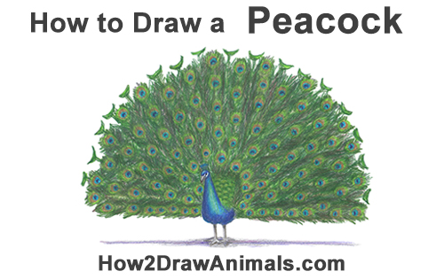 How to Draw Peacock Bird Tail Train Feathers Color