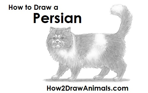 Draw Persian Cat