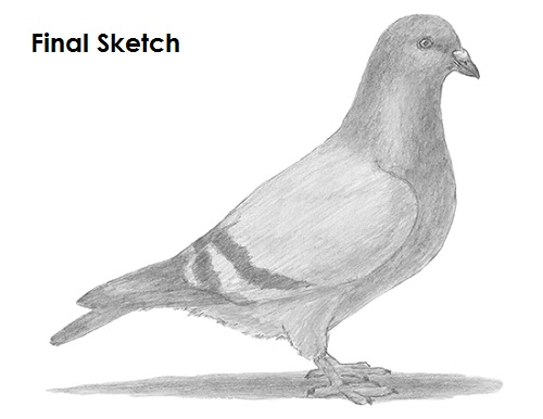 Draw Pigeon Bird Last