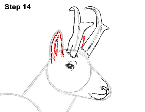 How to Draw a Pronghorn Anelope Buck Walking 14