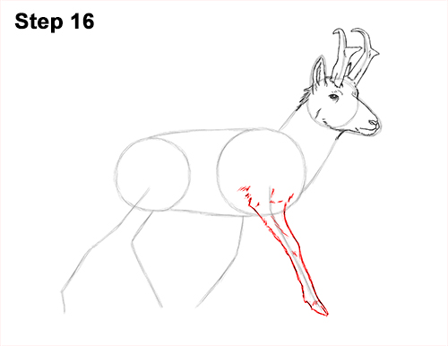 How to Draw a Pronghorn Anelope Buck Walking 16