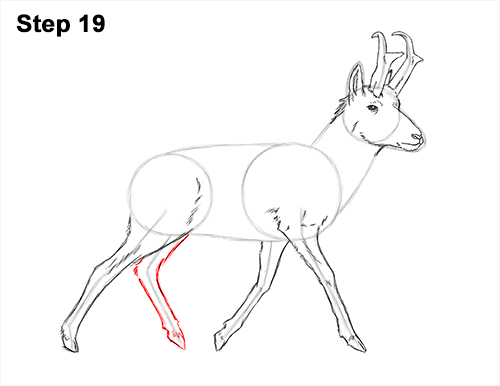 How to Draw a Pronghorn Anelope Buck Walking 19