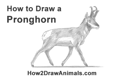 How to Draw a Pronghorn Anelope Buck Walking