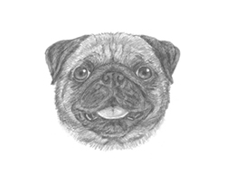 How to Draw a Pug Puppy Dog Head Detail