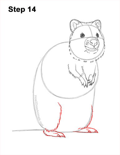 How to Draw a Smiling Quokka Short Tail Scrub Wallaby 14