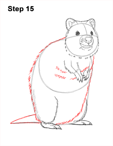 How to Draw a Smiling Quokka Short Tail Scrub Wallaby 15