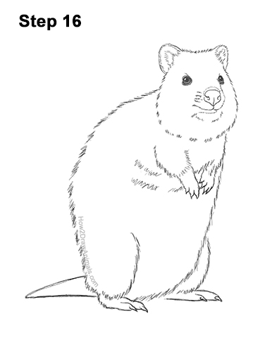 How to Draw a Smiling Quokka Short Tail Scrub Wallaby 16