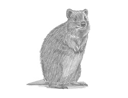 How to Draw a Quokka Short Tail Scrub Wallaby