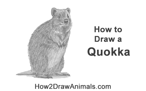 How to Draw a Smiling Quokka Short Tail Scrub Wallaby