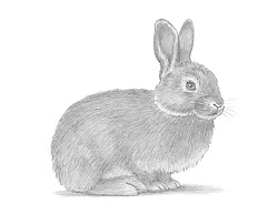 How to Draw a Cute Bunny Rabbit Side View