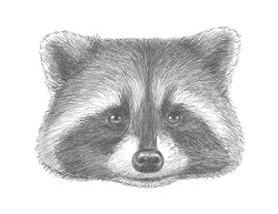 How to Draw a Raccoon Head Portrait Face