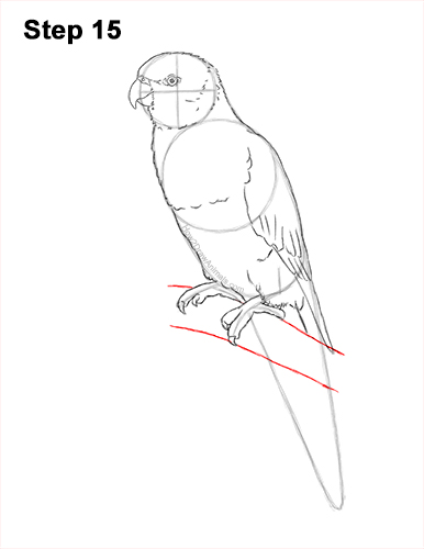 How to Draw Rainbow Lorikeet Bird 15