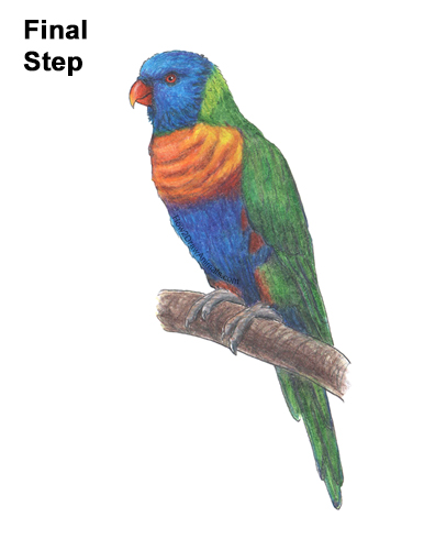How to Draw Rainbow Lorikeet Bird Color