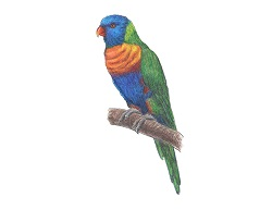 How to Draw a Rainbow Lorikeet Color