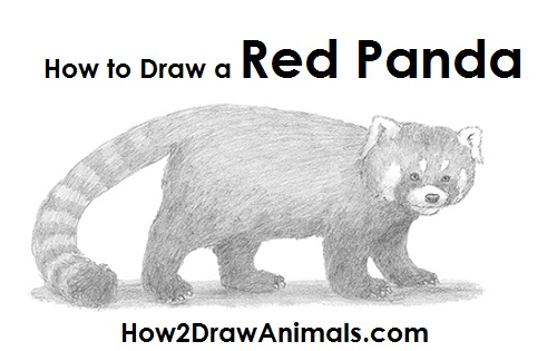 Draw a Red Panda