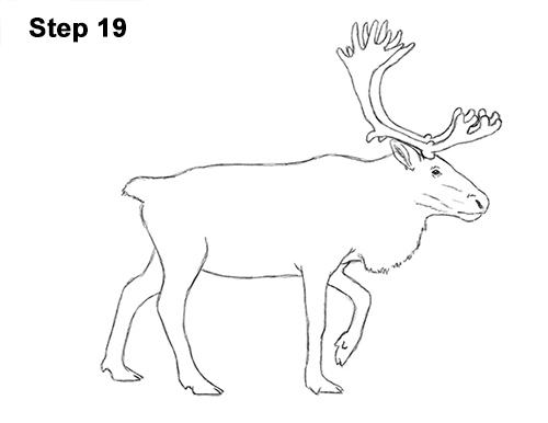 Draw Reindeer Caribou 19