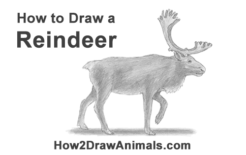 How to Draw a Reindeer Caribou