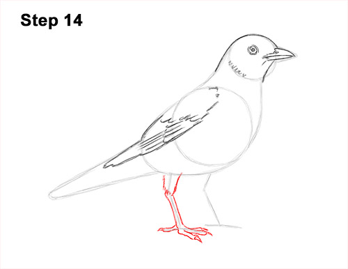 How to Draw an American Robin Bird Color 14