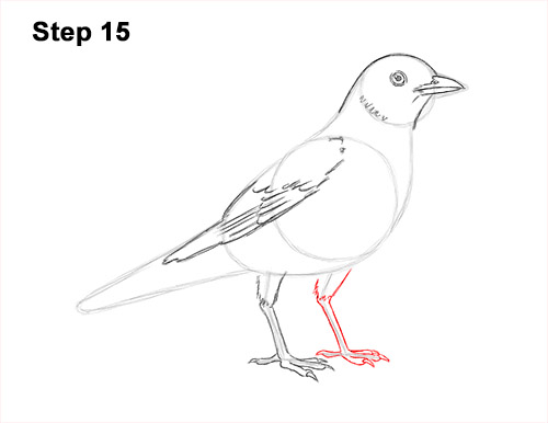 How to Draw an American Robin Bird Color 15