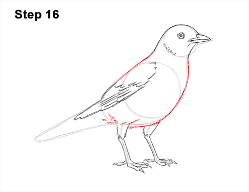 How to Draw an American Robin Bird Color 16