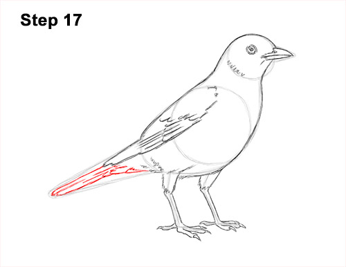 How to Draw an American Robin Bird Color 17