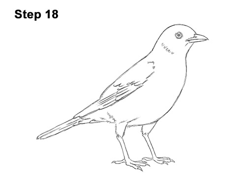How to Draw an American Robin Bird Color 18