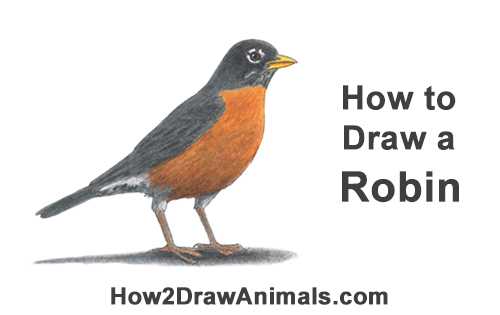 How to Draw an American Robin Bird Color