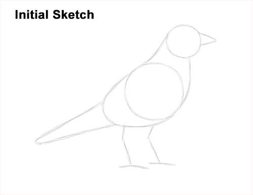 How to Draw an American Robin Bird Color Guide Lines