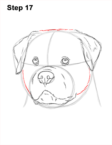 How to Draw a Rottweiler Dog Head Portrait Face 17