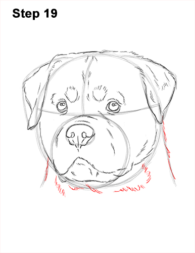 How to Draw a Rottweiler Dog Head Portrait Face 19