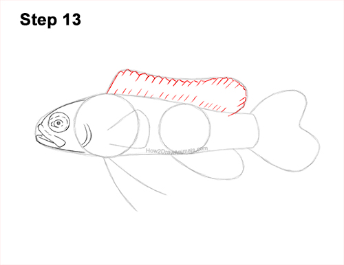 How to Draw a Royal Gramma Fairy Basslet Fish 13