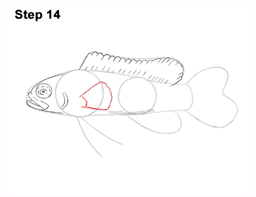 How to Draw a Royal Gramma Fairy Basslet Fish 14