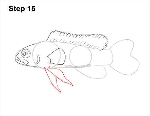 How to Draw a Royal Gramma Fairy Basslet Fish 15