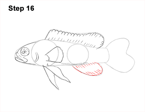How to Draw a Royal Gramma Fairy Basslet Fish 16