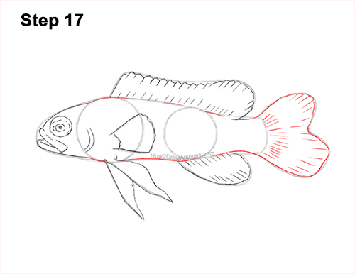 How to Draw a Royal Gramma Fairy Basslet Fish 17