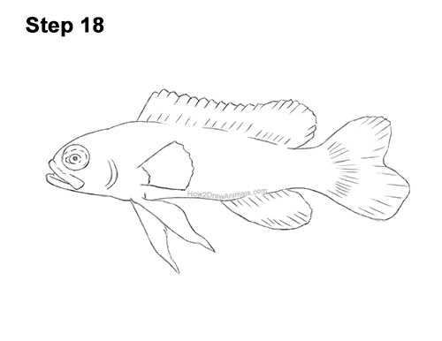 How to Draw a Royal Gramma Fairy Basslet Fish 18