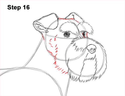 How to Draw a Miniature Schnauzer Puppy Dog 16