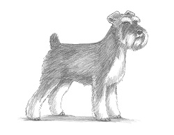 How to Draw a Miniature Schnauzer Puppy Dog