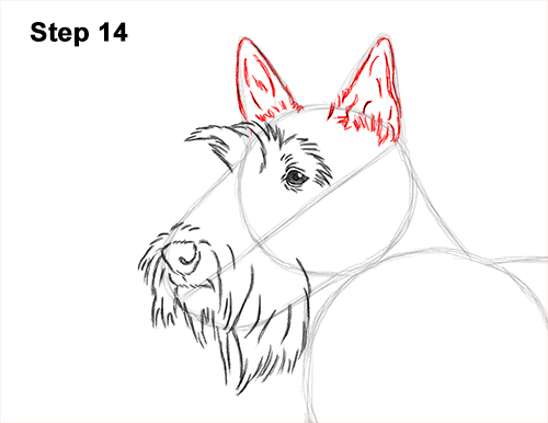 How to Draw a Scottish Terrier Puppy Dog Side 14