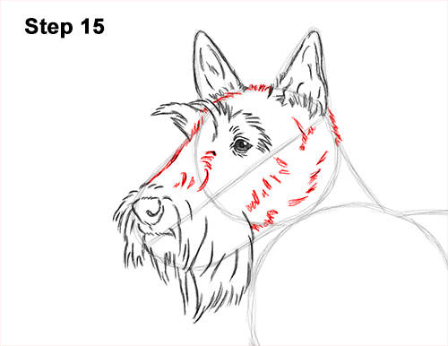How to Draw a Scottish Terrier Puppy Dog Side 15