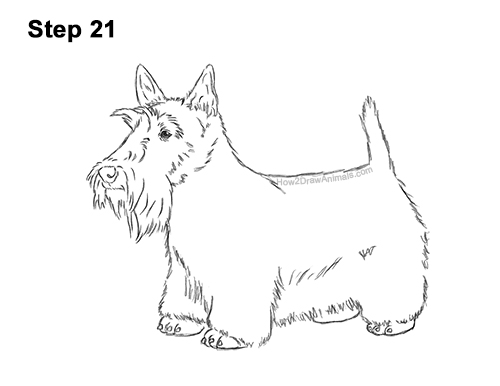 How to Draw a Scottish Terrier Puppy Dog Side 21