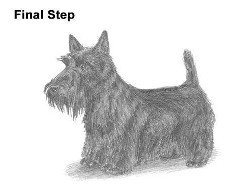 How to Draw a Scottish Terrier Puppy Dog Side