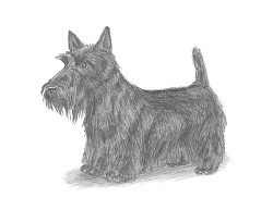 How to Draw a Scottish Terrier Scottie Puppy Dog